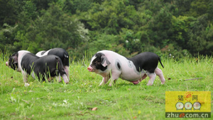 湖南:宁乡增强花猪特色产业竞争新途径