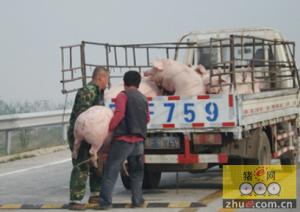 高速路上猪跳车,司机莫忘关好门