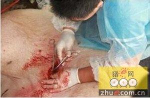母猪剖腹产手术要点与