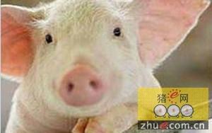 营养因素对猪繁殖性能的影响