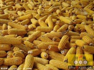 任正晓:将加大玉米收购信贷支持