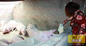 走访养猪户:粮食降价猪肉涨价 一头猪净赚近千