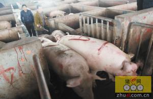 养殖户每头猪赚704元 比去年增收超五成