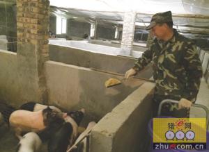 重庆:放弃12万年薪 退伍老兵回乡当猪倌