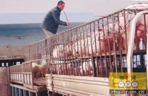 四川罗江畜牧能繁母猪产业精准扶贫获点赞