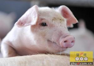 猪又火了,韩国研制出用于研究痴呆的猪