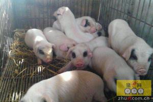 湖南雨湖区长城乡畜牧站为贫困农户送土猪仔