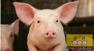 猪价飙升促生猪养殖户增收 每头猪赚704元