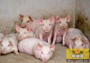 猪群春季最常见的四种异常现象及示病分析,应对方案