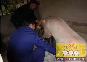 母猪返情,正常和非正常的我们该怎么办?