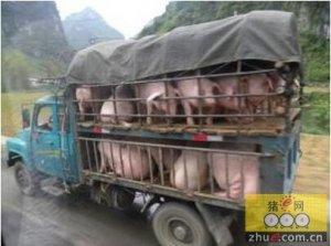 跨省买种猪,要注意了!农业部专项整治跨
