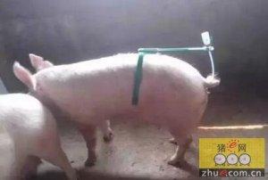 后备母猪最佳配种诀窍