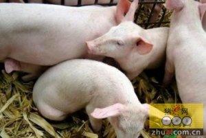 山西白猪夏季改如何养殖?养殖户应该注意哪些问题?