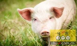 如何保健和饲养妊娠母猪