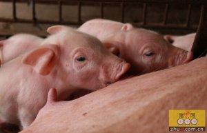 繁育与育种 | 三步法提高母猪胎次