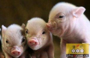 英国猪行业计划推出抗生素管理体系
