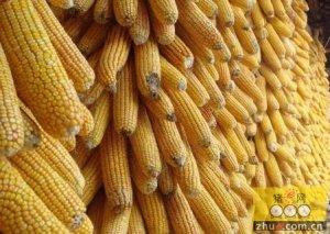玉米拍卖无音 仍待政策指引