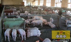 高床养殖每万头猪补贴150万元