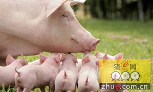 """云南师宗""""送母分仔""""发展生猪产业"""