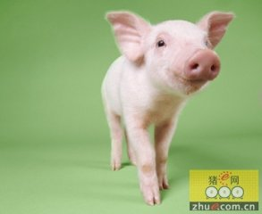世界上最聪明的动物评选,猪也上榜了!