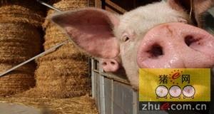 看国外养猪生产商如何通过全新的饲料计划获利