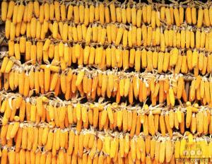 定向玉米拍卖将于本周开始正式启动