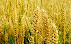 新麦收购趋理性 预计托市占主导