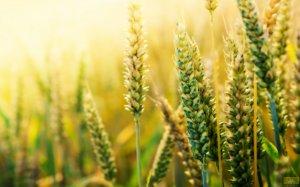新麦收购趋理性预计托市占主导