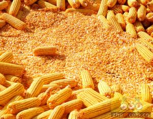 玉米价格承压走弱 局部地区地储玉米定向