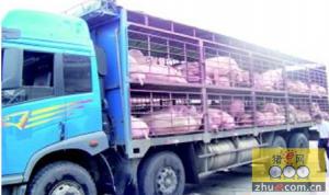 如何防治猪运输应激综合征