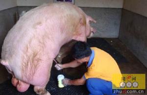 猪人工授精精液品质检查要点,如何检查猪精液品质