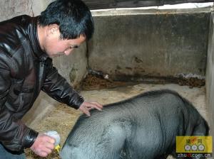 种公猪开始配种为什么死精多?如何恢复种公猪精液质量?