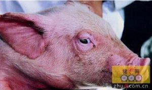 有关控制猪繁殖与呼吸障碍综合征的新教学视频上线