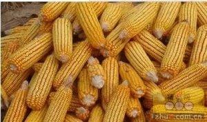 """玉米市场需要来一次""""陈州放粮"""""""