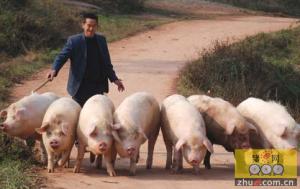 猪病辨识两招,怎么诊断生猪患病