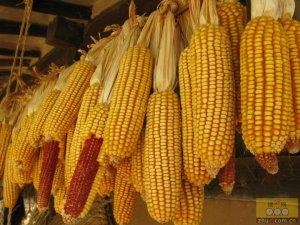 玉米上涨挤占利润  走货加速关注拍卖