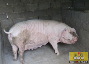母猪有了寄生虫病怎么办?