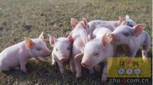 早期肠道菌群的建立将改善生猪终生健康状况