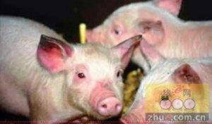 是不是还在为猪群是否要进行猪蓝耳病免疫母猪困惑呢?