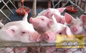 仔猪早期断奶的饲养管理要点