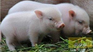 初生仔猪强弱不一时的饲养措施,仔猪出生后大小不一怎么饲养更好?