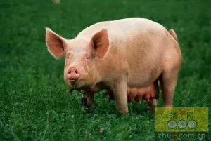 夏季令人头痛的母猪繁殖问题如何解决?这样做就不是什么问题了!
