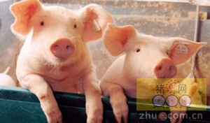 四川华蓥:对不按程序申报引进的种猪进行隔离观察