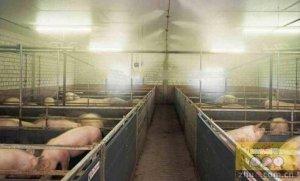 夏季养猪解热对策33招