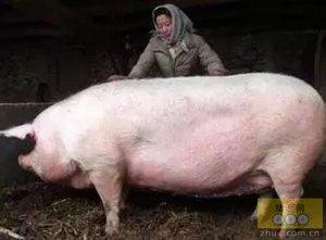 """养猪赚钱三要素""""生得多、活的多、长得快"""",老外养猪增重六策略共享!"""