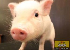 研究:催乳素与黄体酮相对浓度对母猪初乳