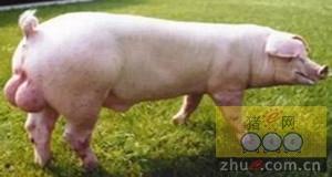 郑州海关首次验放加拿大进口种猪