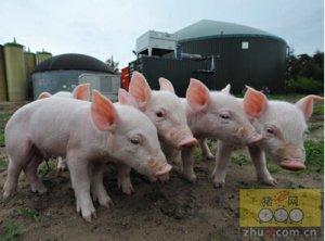 生产效率有所改善,英国生猪养殖成本下降