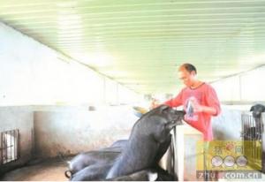 每公斤100-200元 生态黑猪卖价高