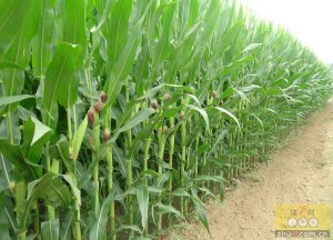 端午假期玉米现货市场行情汇总
